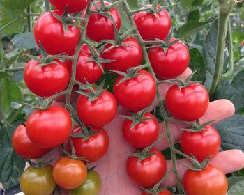 Cocktail Tomato Seeds