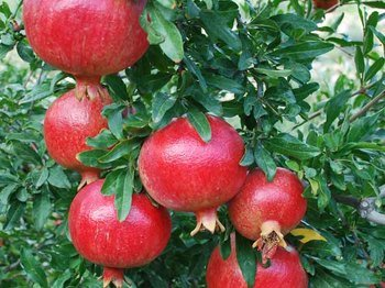 Canlar Pomegranate Season